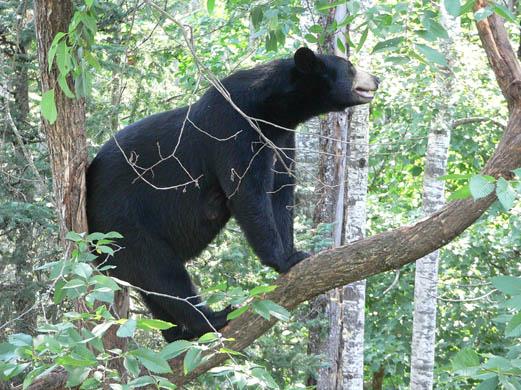 external image American-black-bear-C-David-3602.jpg