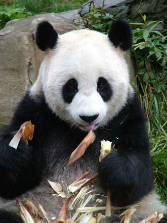 http://static.guim.co.uk/Guardian/environment/gallery/2007/nov/12/wildlife/Giant-panda1C-David-Sheppar-8146.jpg