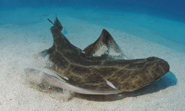 http://static.guim.co.uk/Guardian/environment/gallery/2007/nov/15/endangeredspecies/AngelShark-7028.jpg