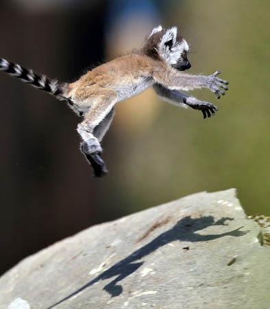 free downloading pics of baby lemur wiki