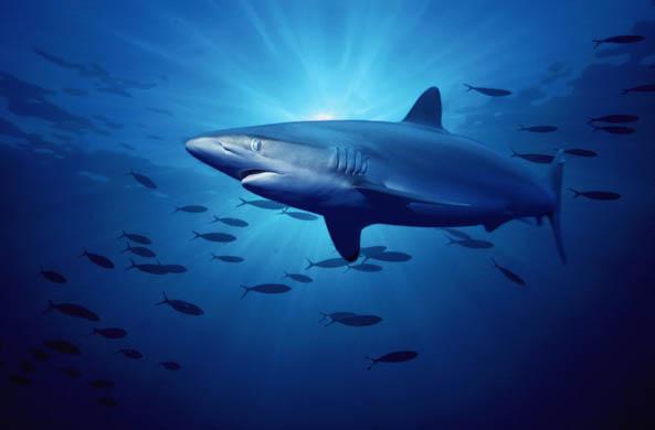 一些鲨鱼物种有面临灭绝的危险(图)