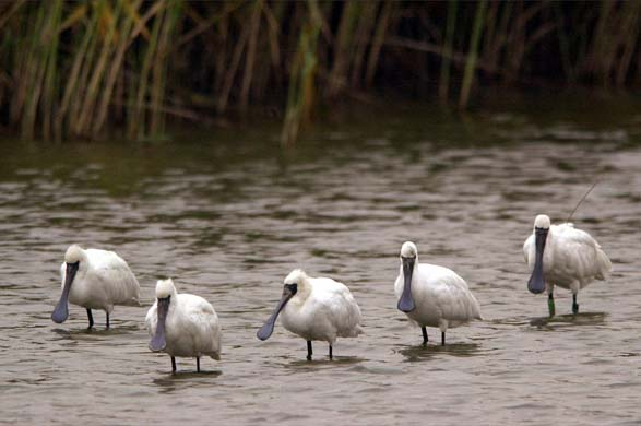 black-faced spoonbills in the DMZ