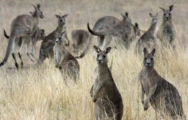 GD7296682@Some-of-the-kangaroos-5697.jpg