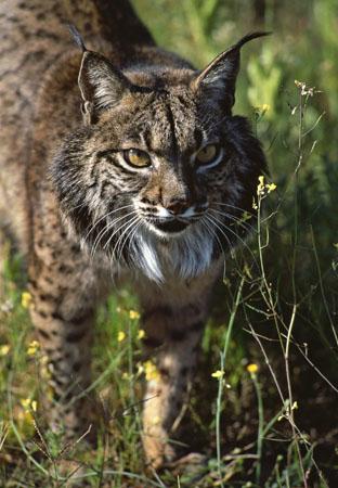 Lynx C