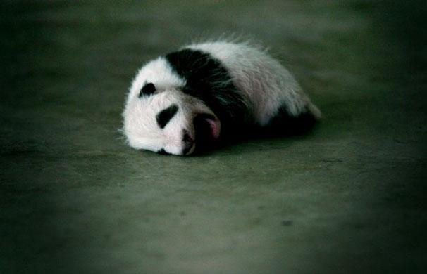 动物线描画睡着了小熊猫