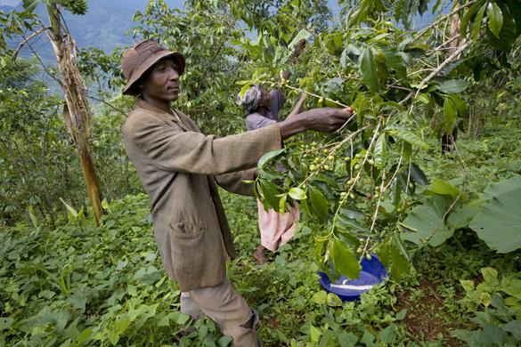 Fair trade coffee: how to buy fair trade coffee