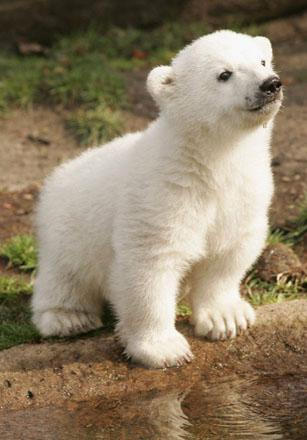 In pictures: Knut the polar bear | World news | The Guardian | 307 x 440 jpeg 26kB