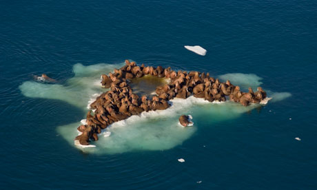 Herd of Walrus on an Ice Floe