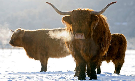 scottish highland cattle snow  highland cattle snow
