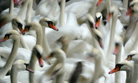 Swans swim in a small lock at Hamburg's inner city lake Alster