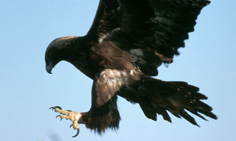 Golden Eagle Lands on Rock