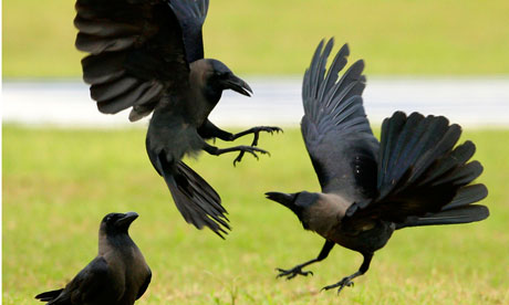 How to attract crows for hunting