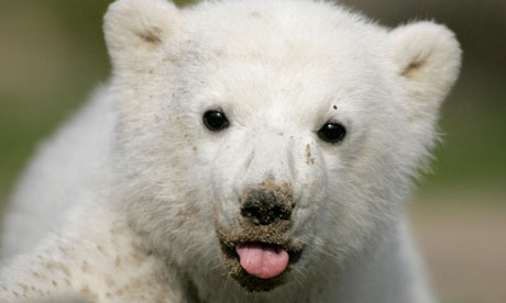 Arctic Animal Pictures on File Photo Of Polar Bear Cub Knut During His First Presentation In