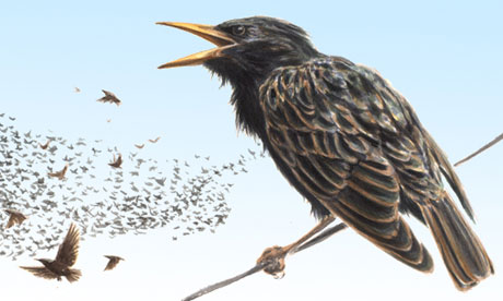 Starling for bridwatch