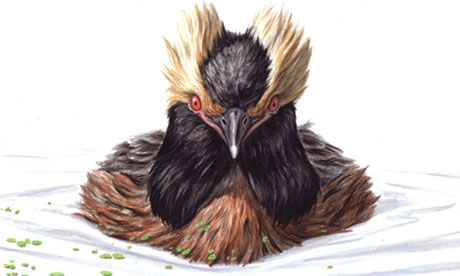 Slavonian Grebe - Podiceps auritus for July Birdwatch