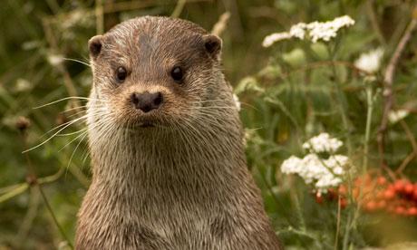 Secretive … an adult male European otter. Photograph: Nicole Duplaix/Getty ...