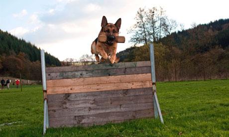 German Shepherd dog at the dog-training (Agility)