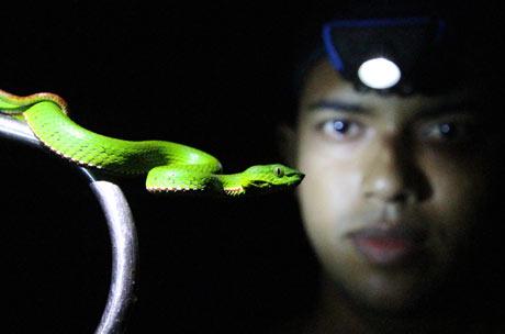 Medo pit viper and its captor