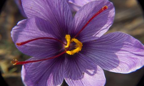 Saffron Harvested In Kashmir