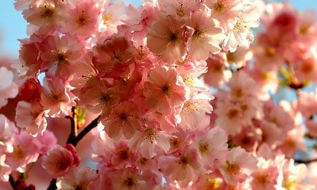 受影响最大的是诸如观赏樱桃树,桃树和梨树,海葵,虎耳草鸢尾花的植物