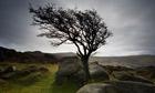 A hawthorn tree on Saddle Tor, Dartmoor
