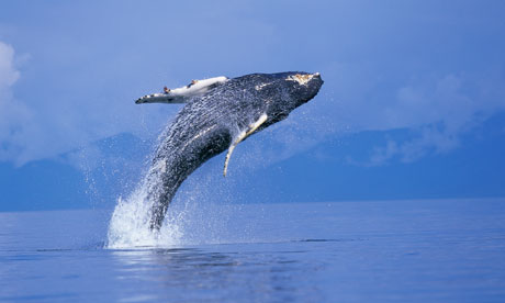 Young Humpback Whale Breaching in Frederick Sound