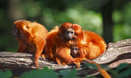 A family of golden lion marmosets