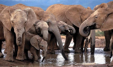 African elephants drink at a waterhole