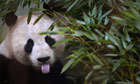 Fwd: Pandas keep Scotland guessing over mating game - http://www.guardian.co.uk/uk/2013/feb/23/pandas-edinburgh-zoo-mating (tramite http://ff.im/1e5hr3)
