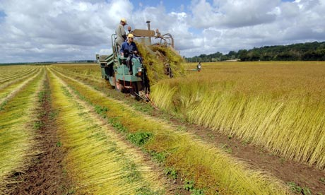 A French farmer harvesting a flax field,