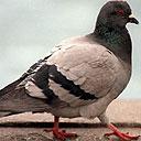 pigeon128.jpg
