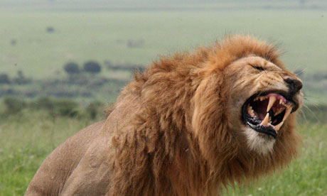 Male lions in their own territory, listening to recorded, amplified roars, generally roared back