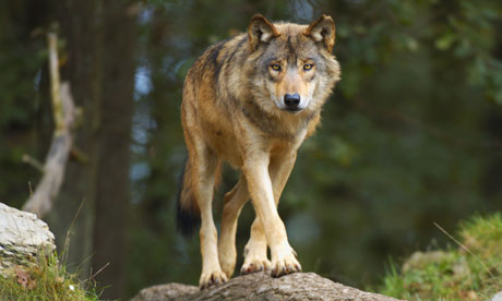 The methods identified by researchers for protecting sheep from wolves may seem obvious