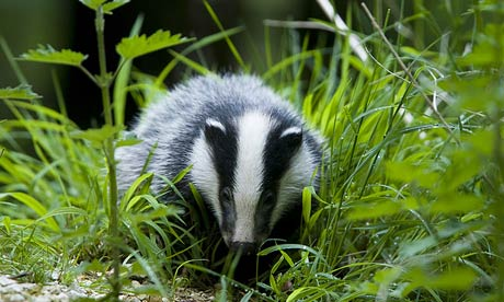Badgers are just one of many species that benefit from woodland habitat