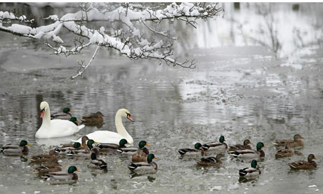 Swans and ducks on a frozen river