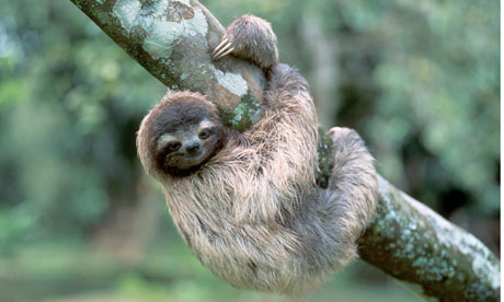 http://static.guim.co.uk/sys-images/Education/Pix/pictures/2013/1/17/1358446759827/A-three-toed-tree-sloth-h-008.jpg