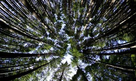 Douglas Fir Trees forest in New Zealand