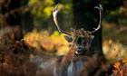 Week in wildlife : A deer forages for food in the early morning sun