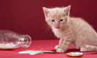 Science  : cat lapping milk