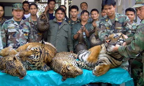 dead tigers and leopards seized after a raid on an illegal wildlife trade