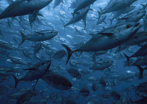 School of southern bluefin tuna in a tuna fishery tow cage