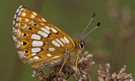 A Duke of Burgundy butterfly at an undisclosed location, 2009