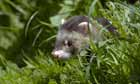 Natural England Report : Lost Life, England's lost and threatened wildlife : a polecat