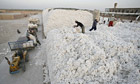 Workers unload bags of picked cotton, Xinjiang, China