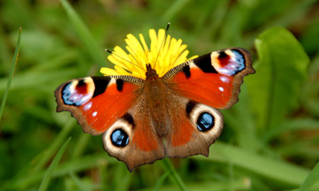 Wildlife quiz : Peacock Butterfly