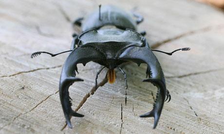 Wildlife quiz : Stag Beetle