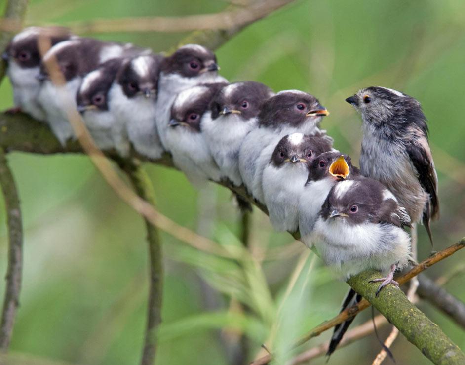 [Image: long--tailed-tit-feeding--001.jpg]