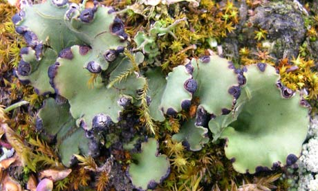 Peltigera venosa, a fan-shaped lichen | Environment | guardian.