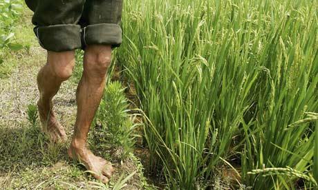 A Chinese farmer works at a hybrid rice planting field, Changsha city, Hunan, China.