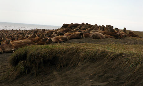 Walrus high on the barrier Island beaches near Pt Lay, Alaska, 2010